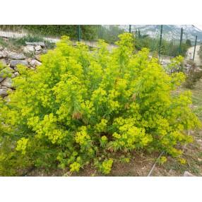 Euphorbia ceratocarpa - Euphorbe de Sicile