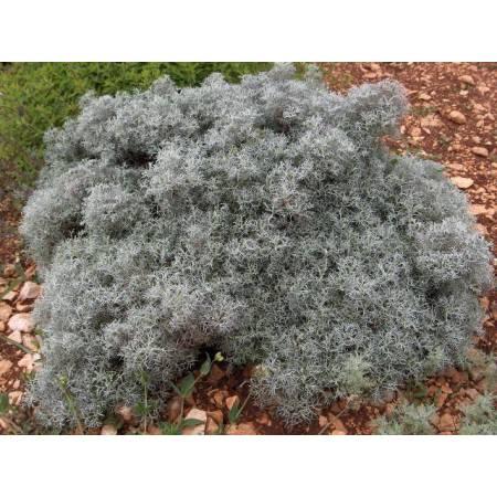 Artemisia 'Canescens', Armoise d'Arménie