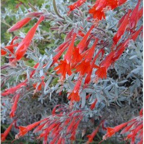 Epilobium californicum 'Olbrich's Silver' , Fuchsia de Californie