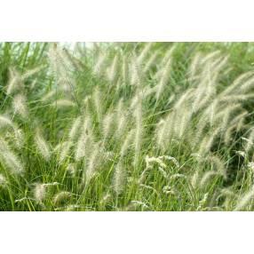 Pennisetum alopecuroides 'Hameln' - Herbe aux écouvillons