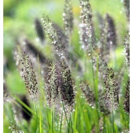 Pennisetum alopecuroides var. viridescens  - Herbe aux écouvillons