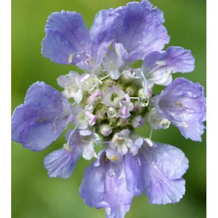 Scabiosa graminifolia - Scabieuse à feuille de graminée