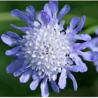 Scabiosa japonica var. alpina - Scabieuse du japon
