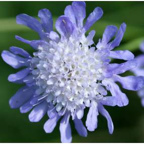 Scabiosa columbaria - Scabieuse colombaire