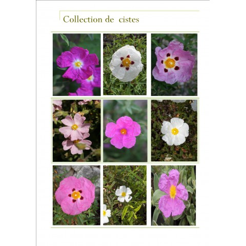 Collection de Cistus - Cistes