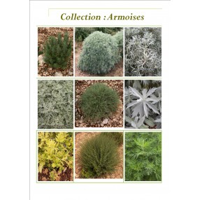 Collection d'Armoises - Artemisia