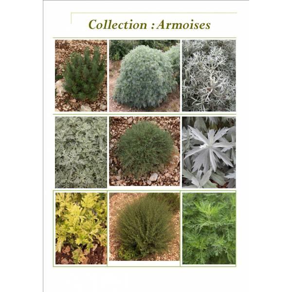 Collection d'Armoises - Artemisia