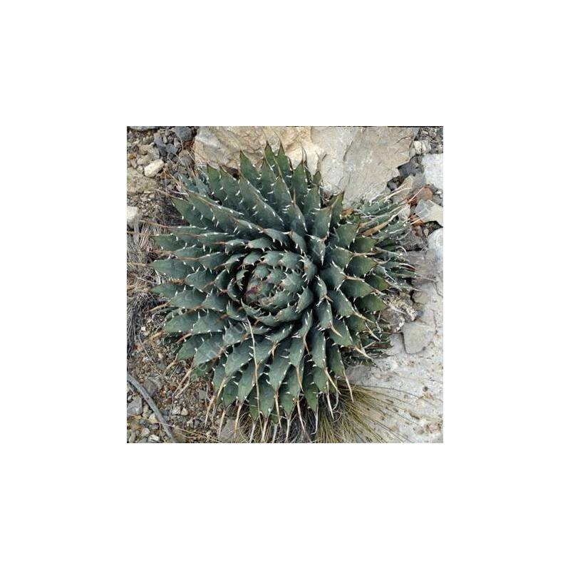 Agave utahensis - Agave de l'Utah