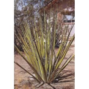Hesperaloe funifera - Hesperaloe géant