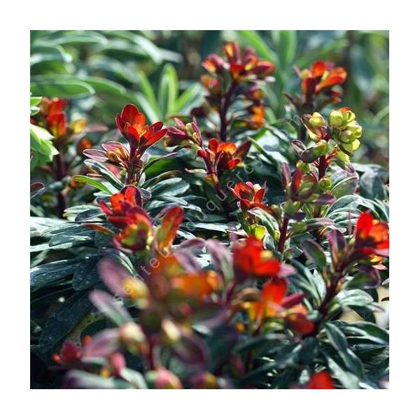 Euphorbia 'Velvet Ruby'