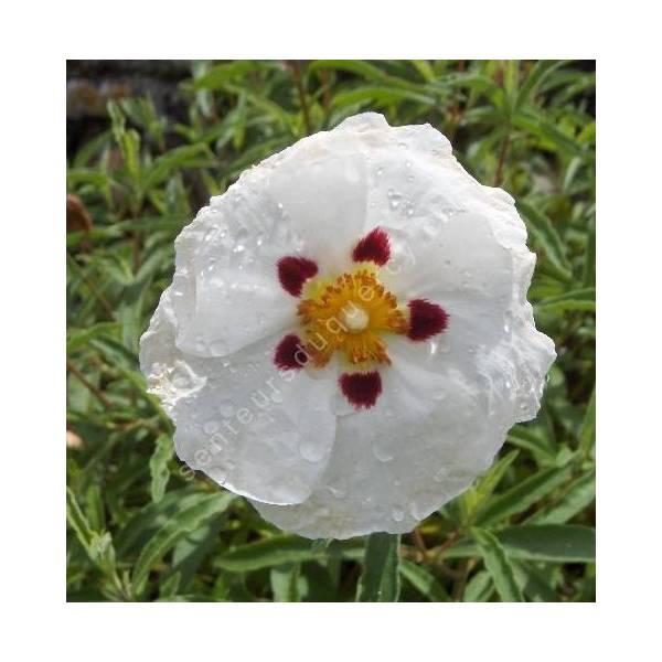 Cistus x purpureus 'Alan Fradd'  - Ciste pourpre à fleur blanche