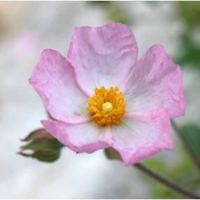Cistus x lenis 'Grayswood Pink'