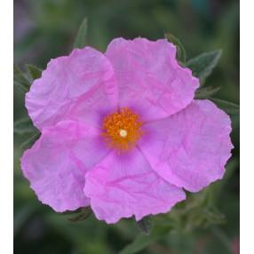 Cistus x pulverulentus  - Ciste pulvérulent