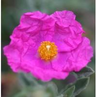 Cistus x crispatus 'Warley Rose' - Ciste couvre-sol