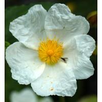 Cistus laurifolius - Ciste à feuille de laurier
