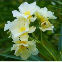 Laurier-rose 'Luteum Plenum' - Nerium jaune double