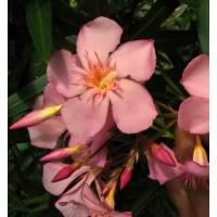 Laurier-rose 'Soleil Levant' - Nerium rose tendre