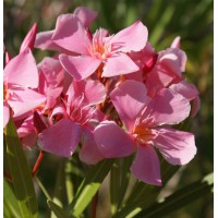 Laurier-rose 'Tito Poggi' - Nerium
