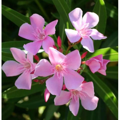 Laurier-rose 'Villa Romaine' - Nerium rose vif