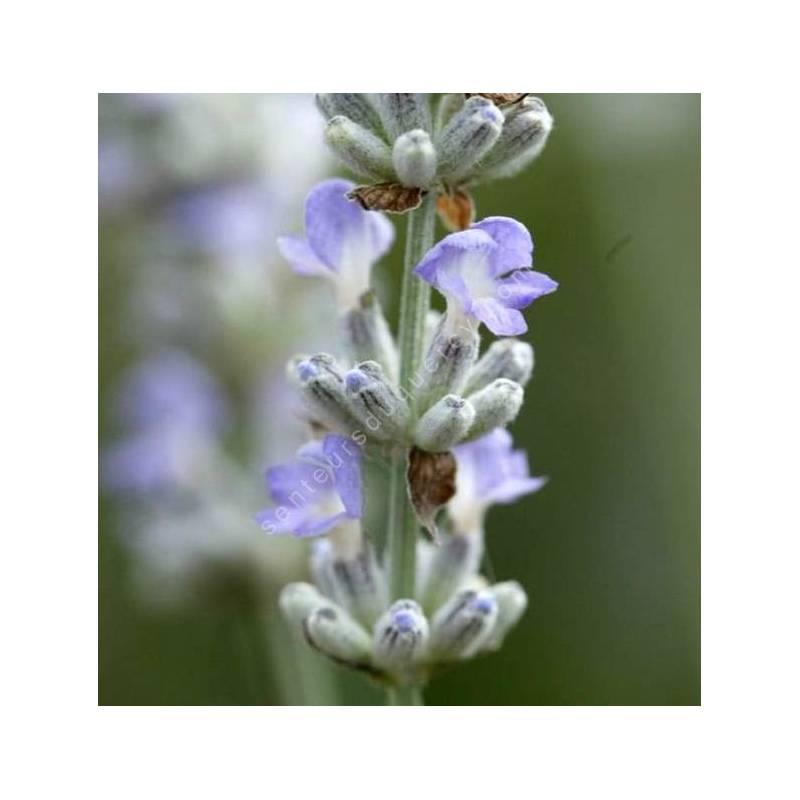 Lavandula angustifolia 'Glace Bleue' - Vraie Lavande