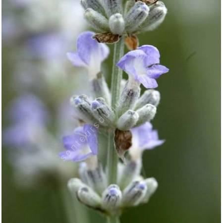 Lavandula angustifolia 'Blue Ice', Vraie Lavande