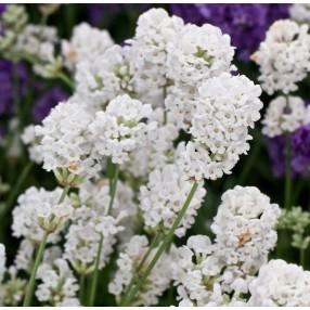 Lavandula angustifolia \u0027Alba\u0027 , Lavande blanche