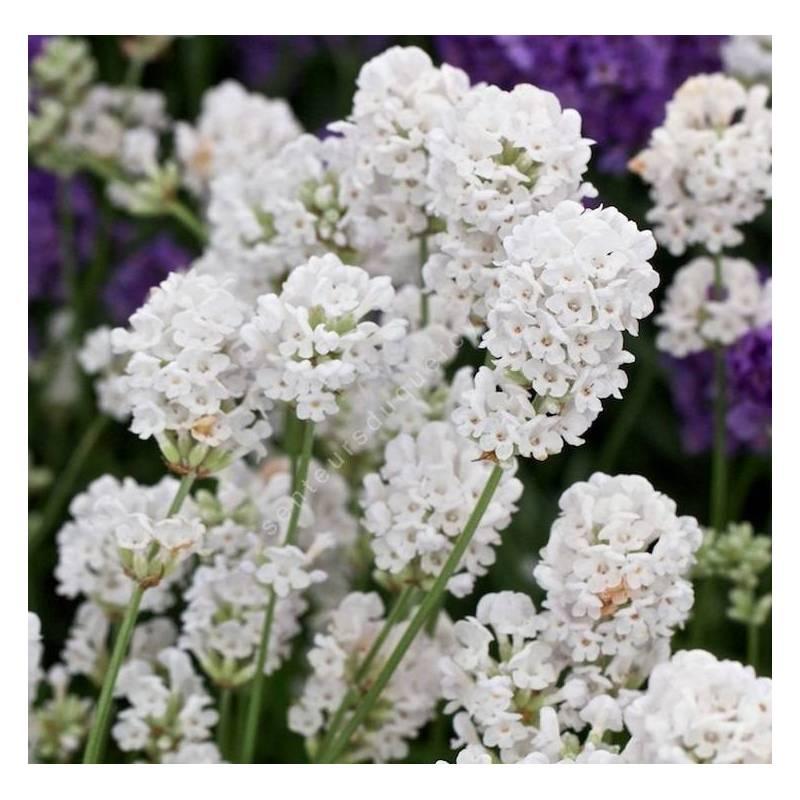 Lavandula angustifolia 'Alba', Lavande blanche