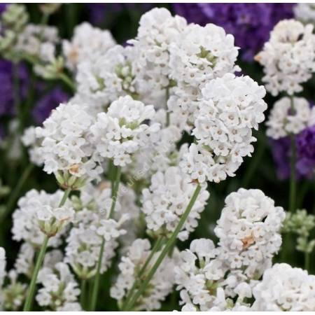 Lavandula angustifolia 'Alba' - Lavande blanche