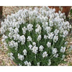 Lavandula angustifolia 'Nana Alba', Vraie Lavande naine blanche