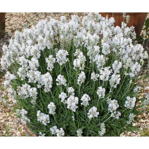 Lavandula angustifolia 'Nana Alba' - Vraie Lavande naine blanche
