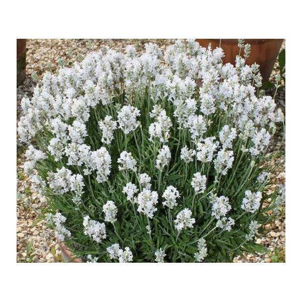 Lavandula angustifolia \u0027Nana Alba\u0027, Vraie Lavande naine blanche. \u2039 \u203a