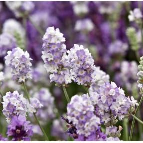 Lavandula angustifolia 'Blue Ice' - Vraie Lavande
