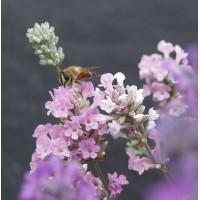 Lavandula angustifolia 'Melissa' - Vraie Lavande