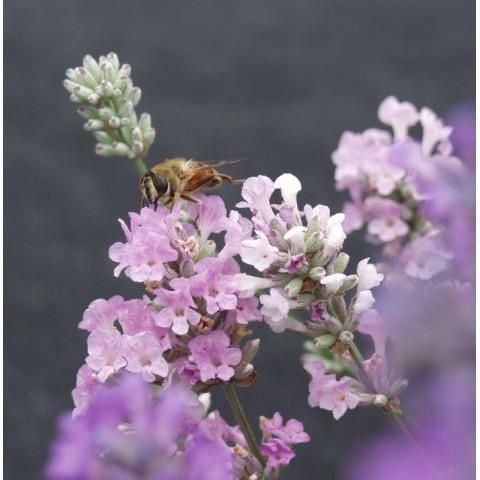 https://www.senteursduquercy.com/3267-thickbox/lavandula-angustifolia-melissa-vraie-lavande.jpg