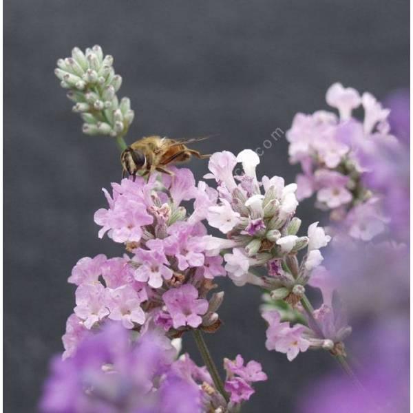 Lavandula angustifolia 'Melissa', Vraie Lavande