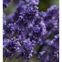 Lavandula angustifolia 'Melissa Lilac' ® - Vraie Lavande
