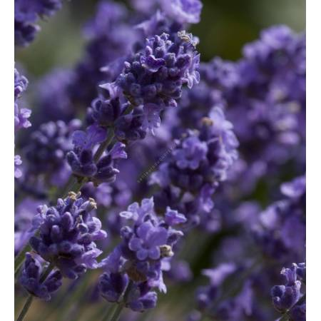 Lavandula angustifolia 'Melissa Lilac' ®, Vraie Lavande