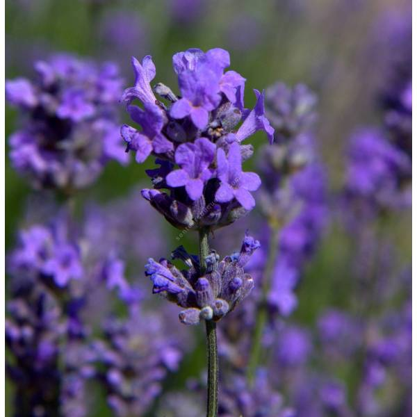 lavandula angustifolia 39 munstead 39 lavande fine de jardin sec. Black Bedroom Furniture Sets. Home Design Ideas