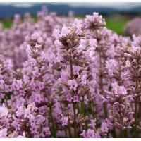 Lavandula angustifolia 'Jean Davis' - Vraie Lavande rose