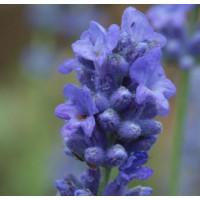 Lavandula angustifolia 'Siesta' - Vraie Lavande