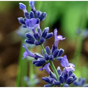Lavandula angustifolia 'Pacific Blue', Vraie Lavande