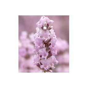 Lavandula angustifolia 'Rosea', Vraie Lavande rose