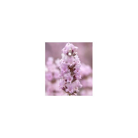 Lavandula angustifolia 'Rosea' - Vraie Lavande rose