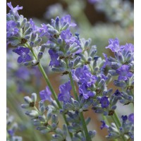 Lavandula angustifolia 'Miss Muffet' - Vraie Lavande naine