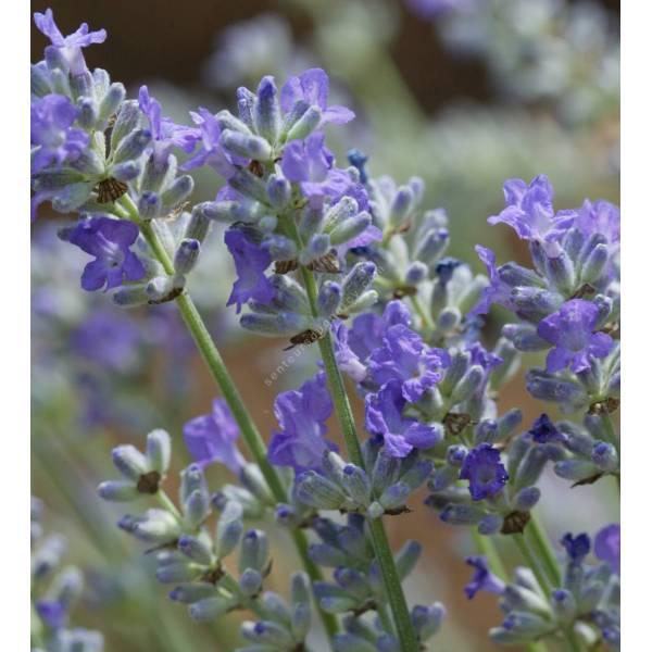 Lavandula angustifolia 'Miss Muffet', Vraie Lavande naine