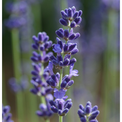 Lavandula angustifolia 'Loddon Blue' - Vraie Lavande