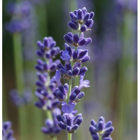 Lavandula angustifolia 'Loddon Blue', Vraie Lavande