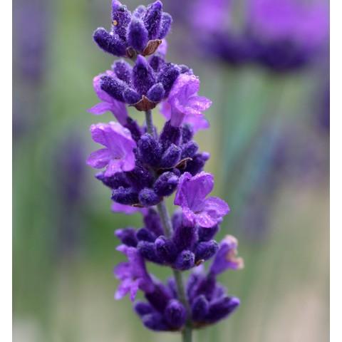 https://www.senteursduquercy.com/3291-thickbox/lavandula-angustifolia-hidcote-vraie-lavande.jpg