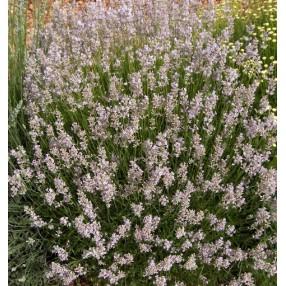 Lavandula angustifolia 'Hidcote Pink' - Vraie Lavande rose