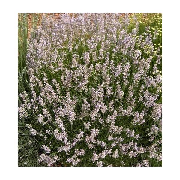 Lavandula angustifolia 'Hidcote Pink', Vraie Lavande rose